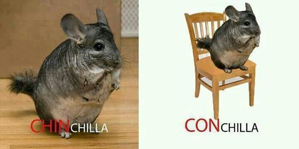 chinchilla con chilla